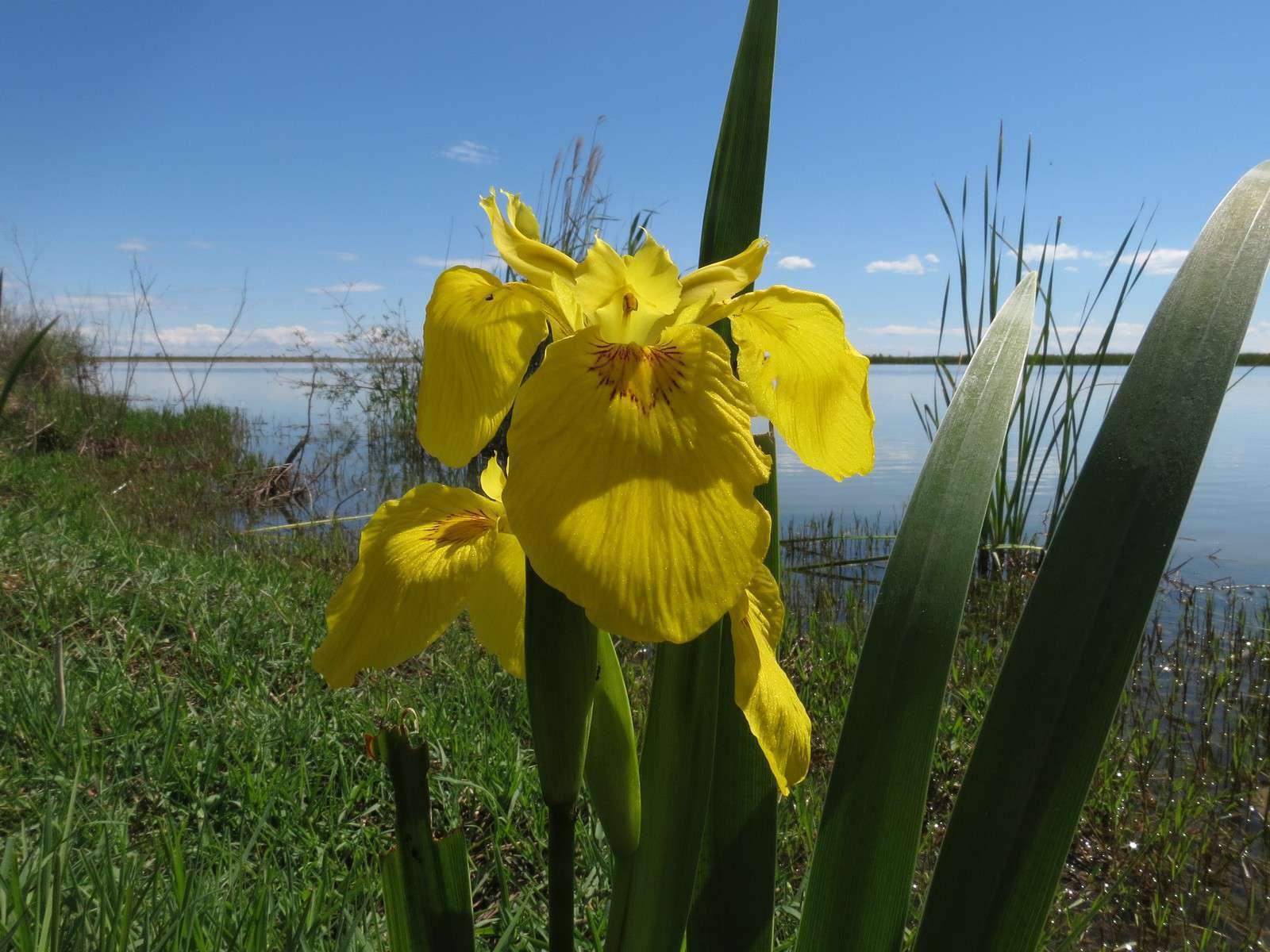 Iris jaune - Crédit : Donald Hobern