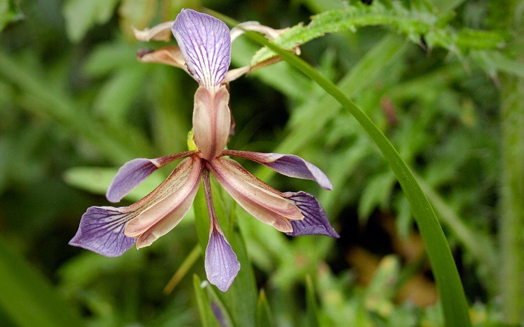 Iris fétide. Crédit : Kentish Plumber - Flickr