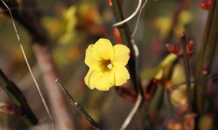 Jasmin jaune (Crédits : Alexandre Alapetite)