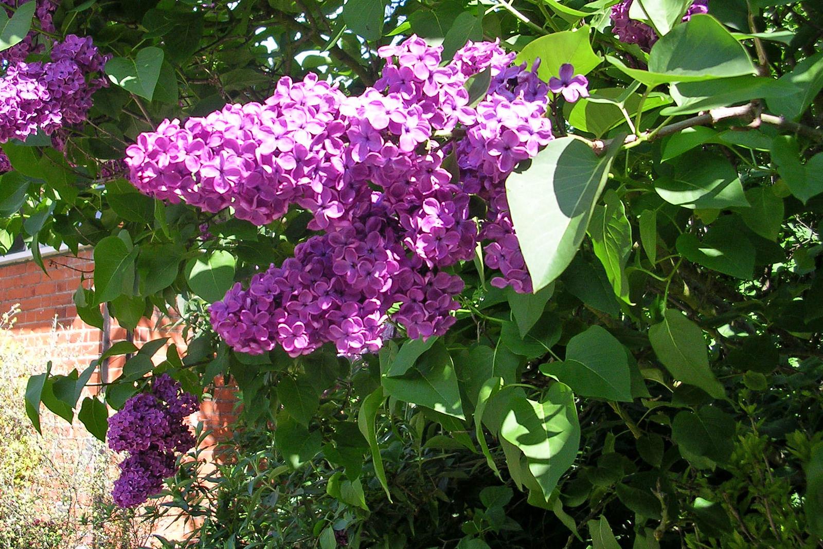 Thyrses du lilas commun. Crédits : Jane Nearing - Flickr