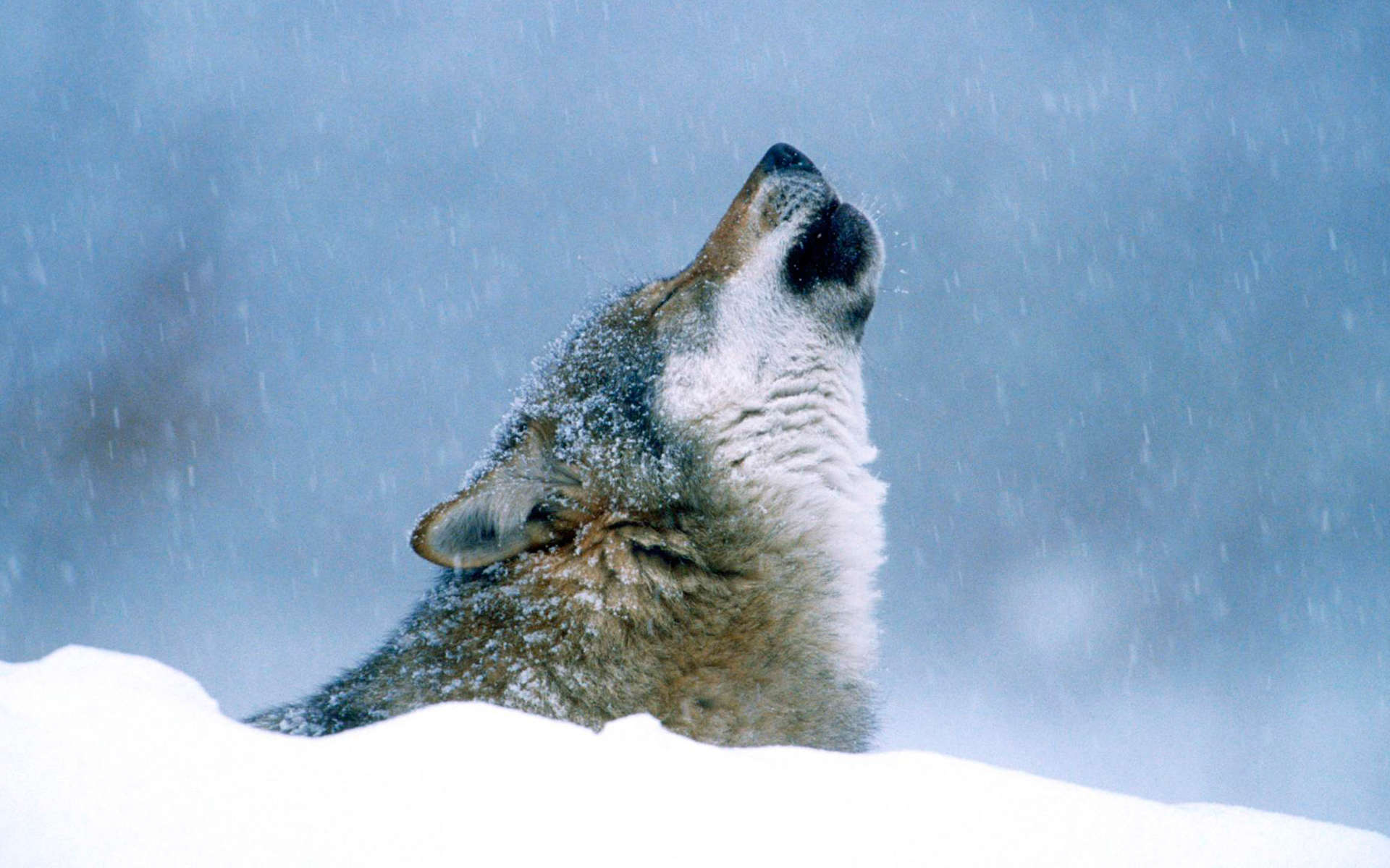 Loup (Crédits: Angell Williams - Flickr)