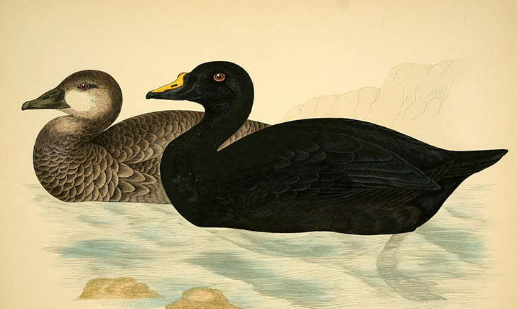 Illustration d'un couple de macreuse noire (Crédits: Biodiversity Heritage Library - flickr)