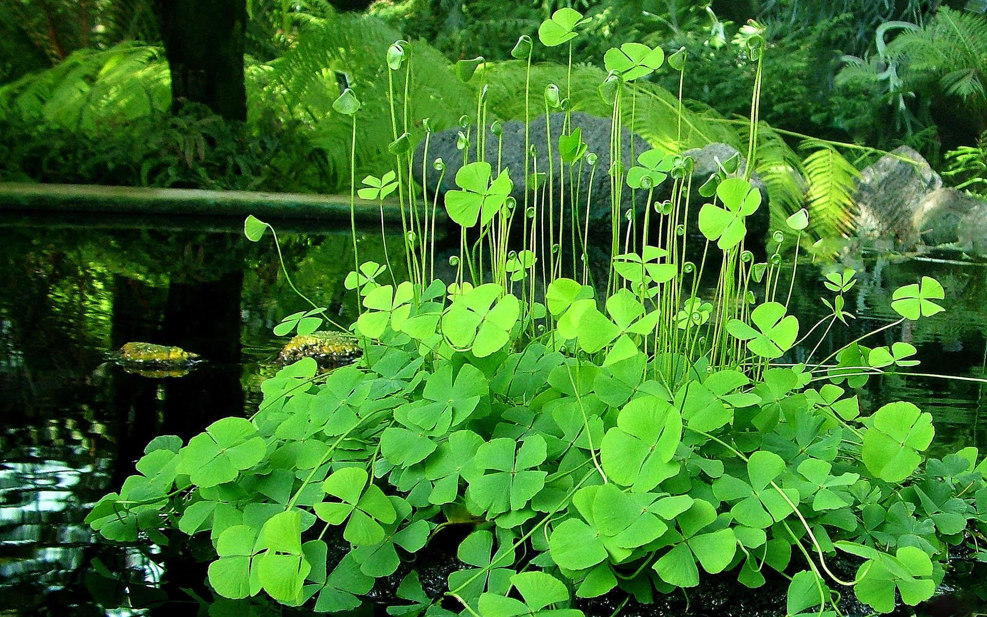 Marsilée à quatre feuilles (Crédits: kkmarais - Flickr)