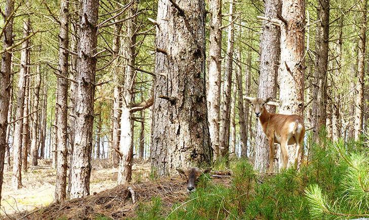 Mouflon (Crédits: Stéphanie Ritz)