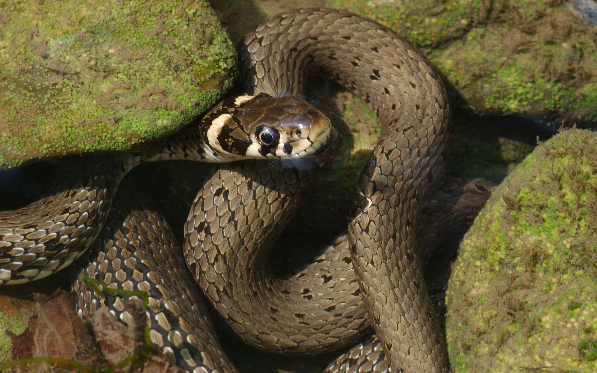 Couleuvre à collier (Crédits : Hagdorn - flickr)