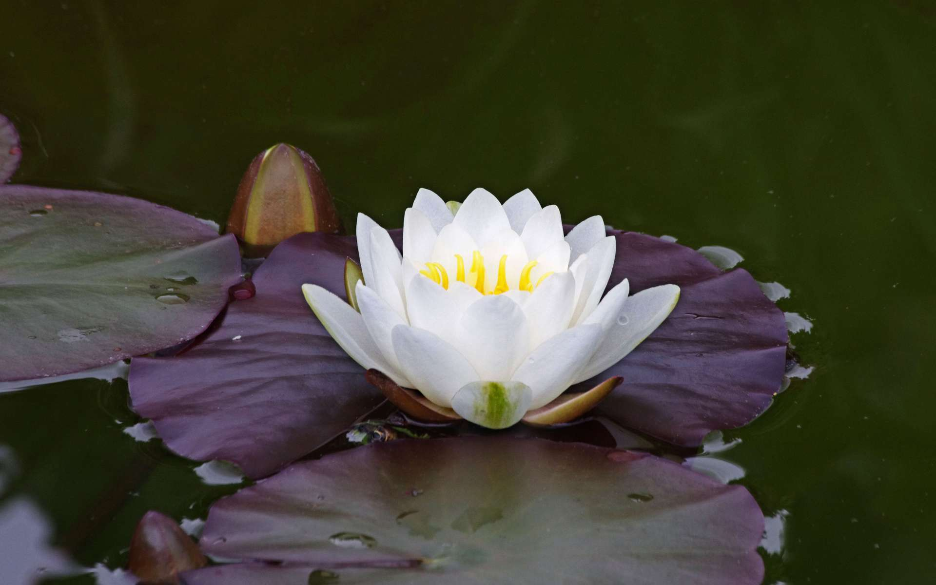 Nénuphar blanc (Crédits : Daniel Jolivet - flickr)