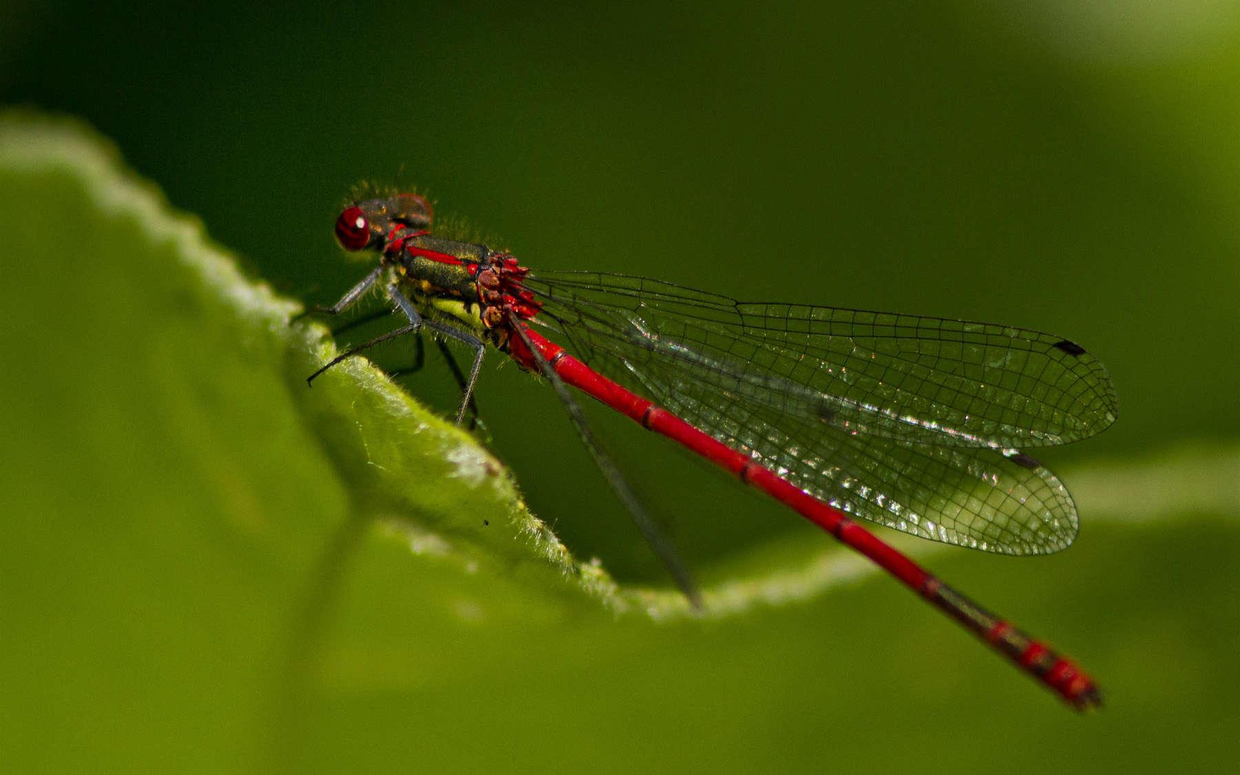 Petite Nymphe à corps de feu (Crédits : Jinterwas - Flickr)