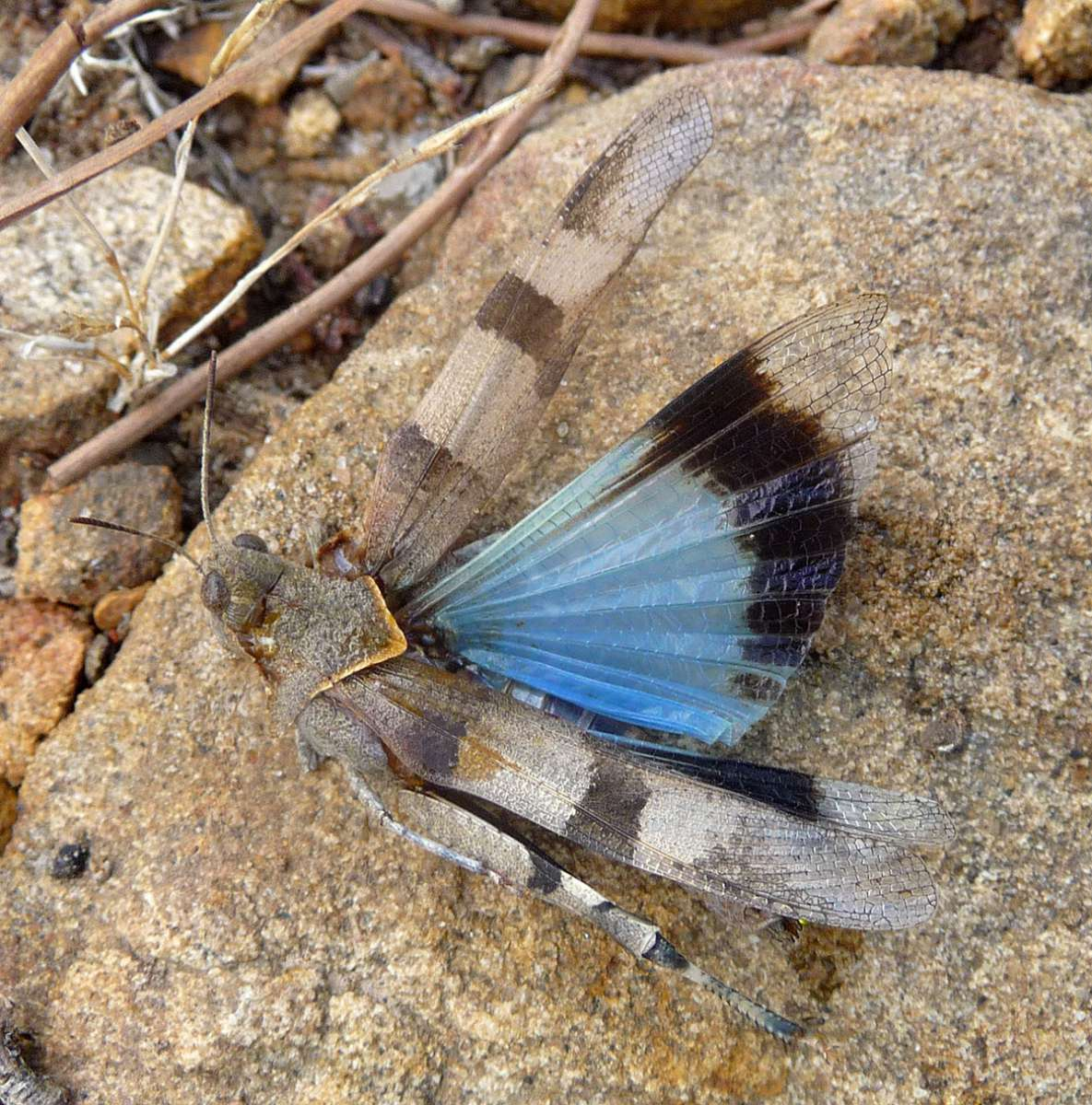 Oedipode turquoise