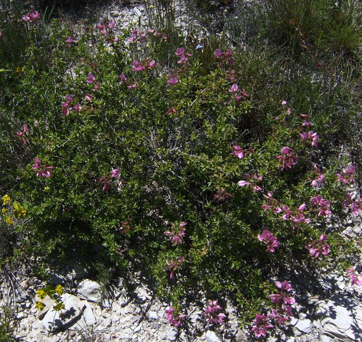 Bugrane arbustive (crédits Victor M Vicente Selvas)