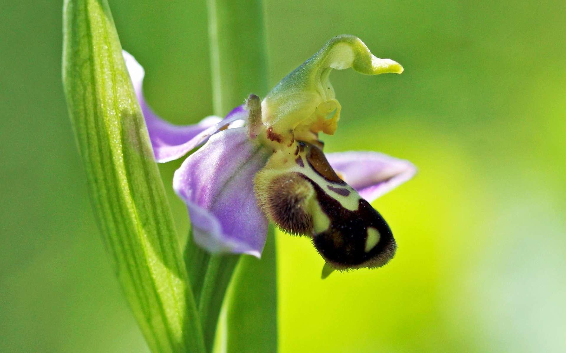 Ophrys abeille - fleur et feuille (Crédits : Quentin Dumont)