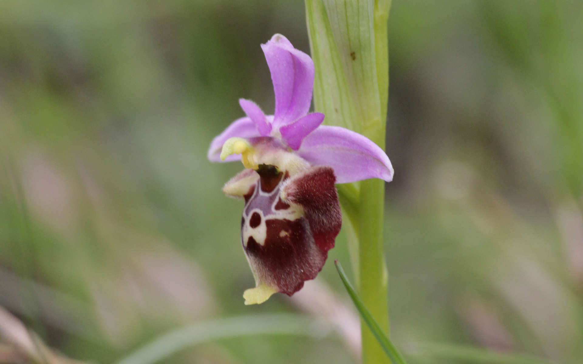 Ophrys (Crédits: Rudel Thibault - Natural Solutions)