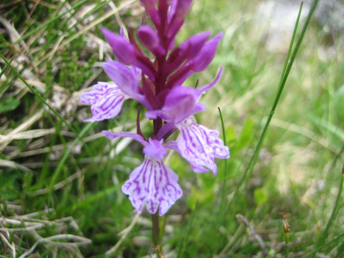 Orchis tacheté (crédits: evelyne Liauzun)