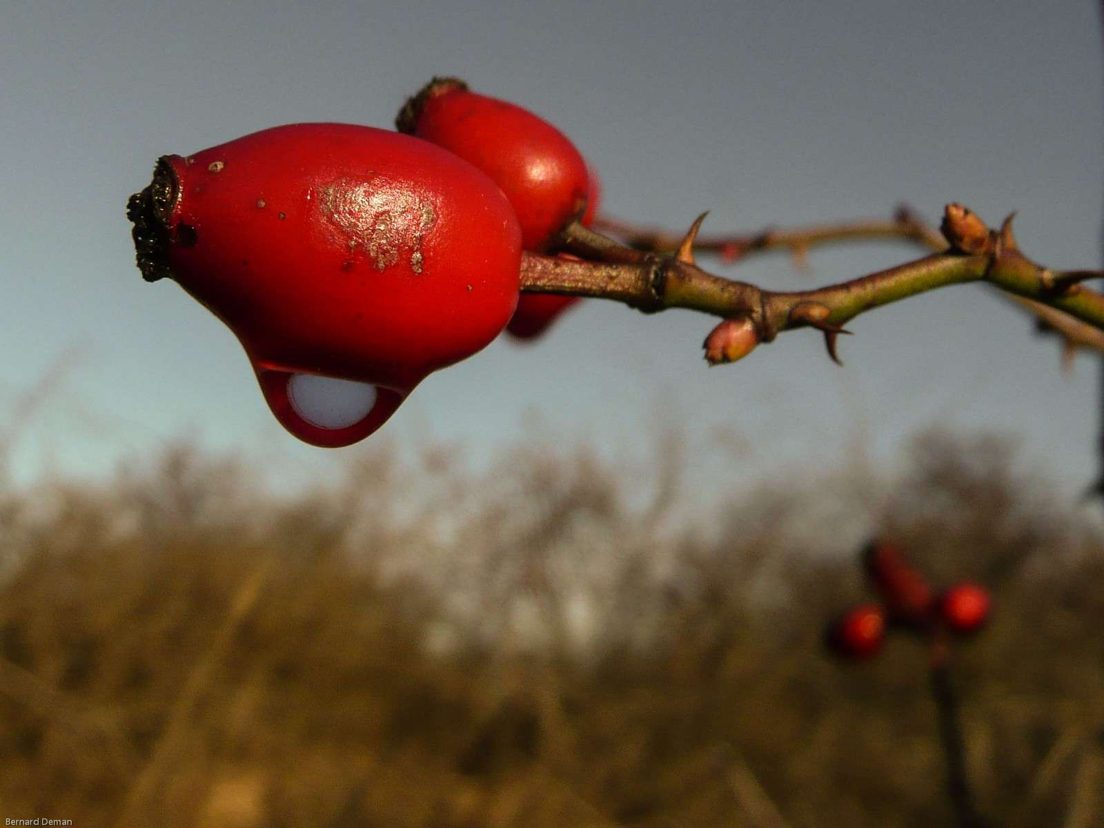 Eglantier - fruit (crédit : Bernard Deman)