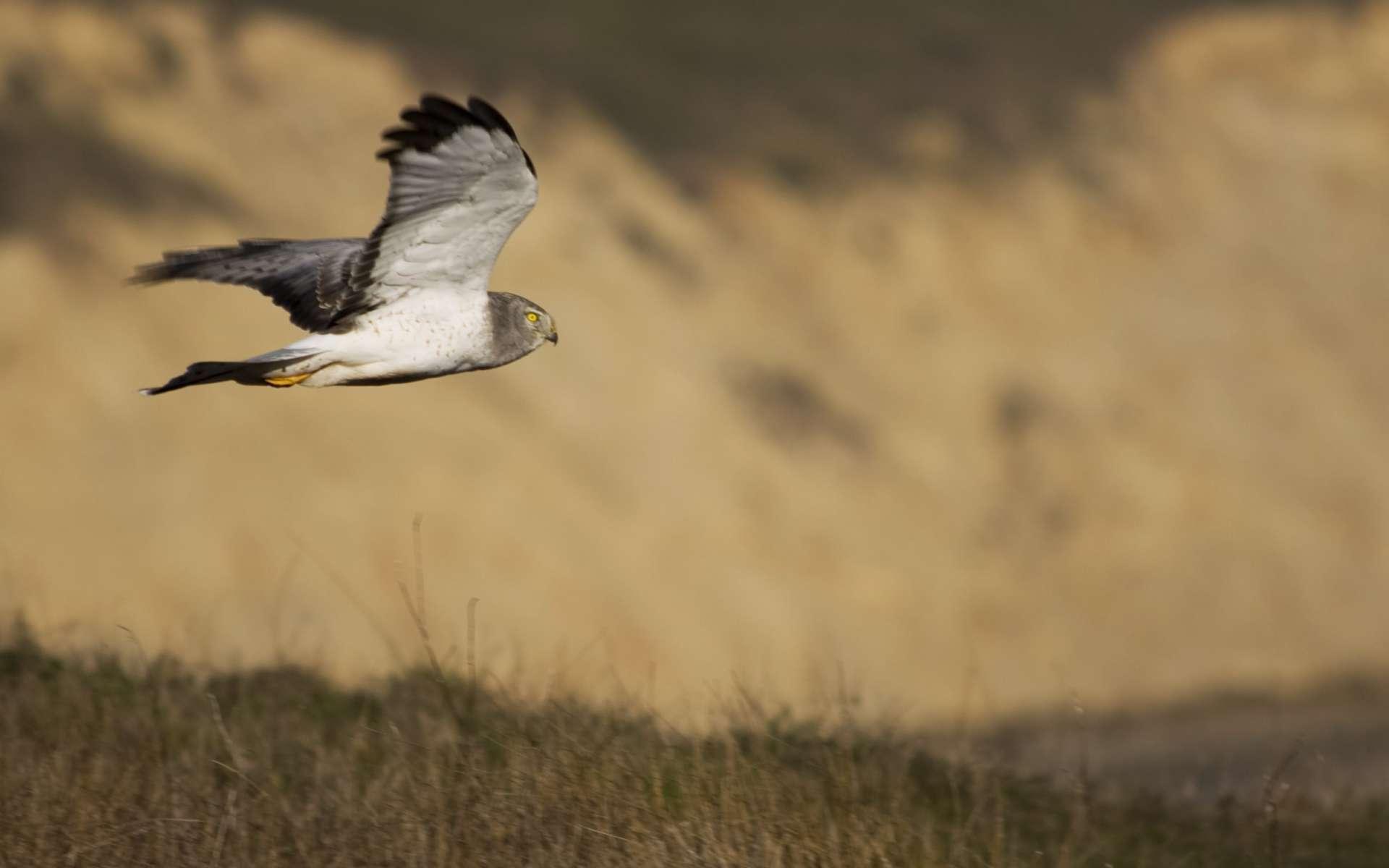 Busard St-Martin mâle ( Crédits : Paulo Philippidis - Flickr)