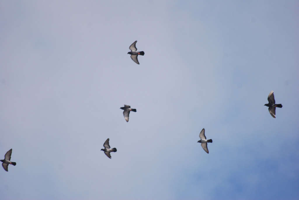 Pigeon-biset-credit-Paul-Sullivan
