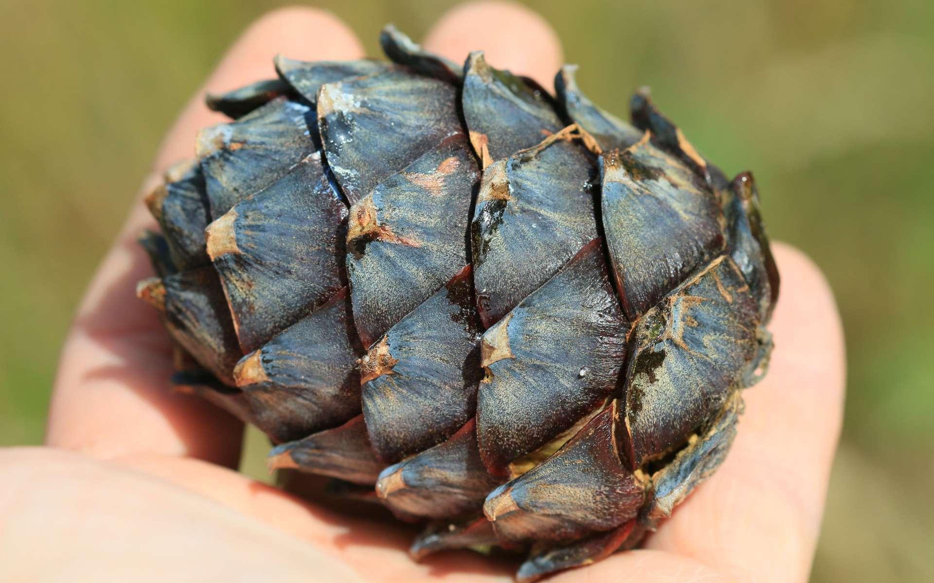 Pin cembro - cône (Crédits : S. Rae - Flickr)