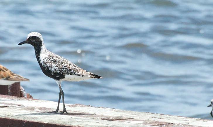 Pluvier argenté en plumage nuptial (Crédits: Brandon Trentler - flickr)