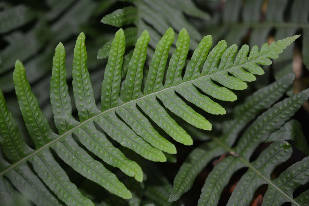Feuille de Polypodium vulgare (© : Ashley Basil - Flickr)