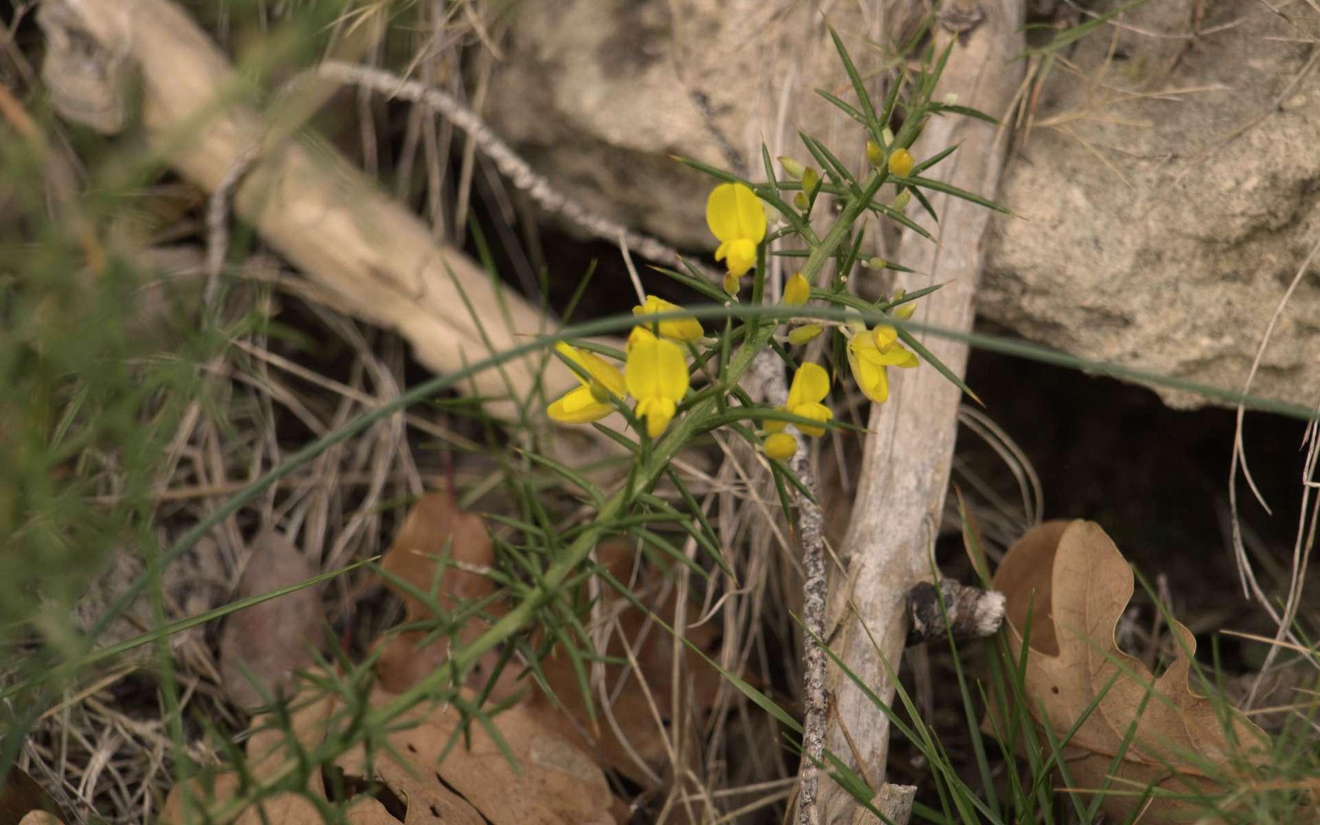 Genêt scorpion - fleurs (Crédits : Sabine Meneut)