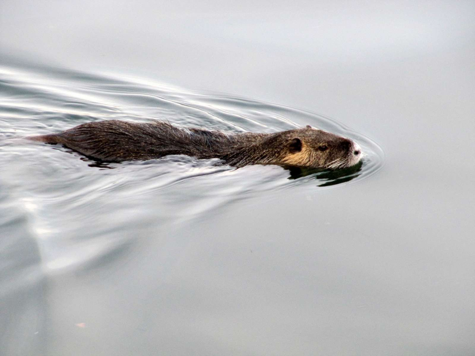 Ragondin (Myocastor coypus) en train de nager