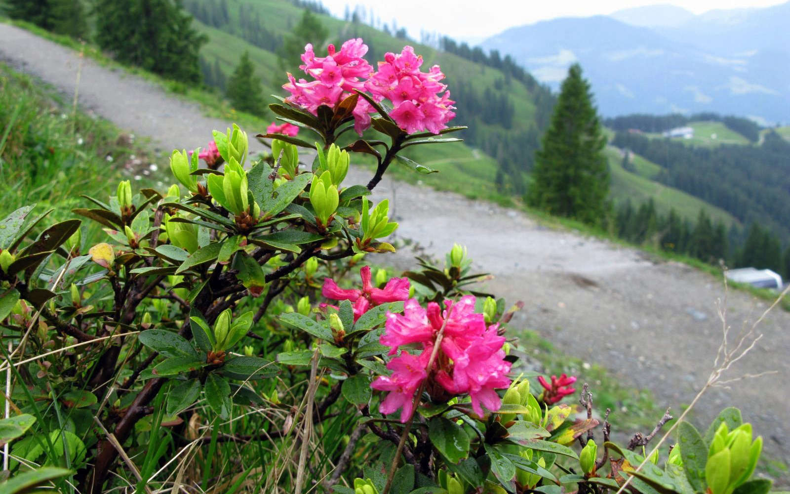 Rhododendron ferrugineux (Crédits : Col Ford and Natasha de Vere - Flickr)
