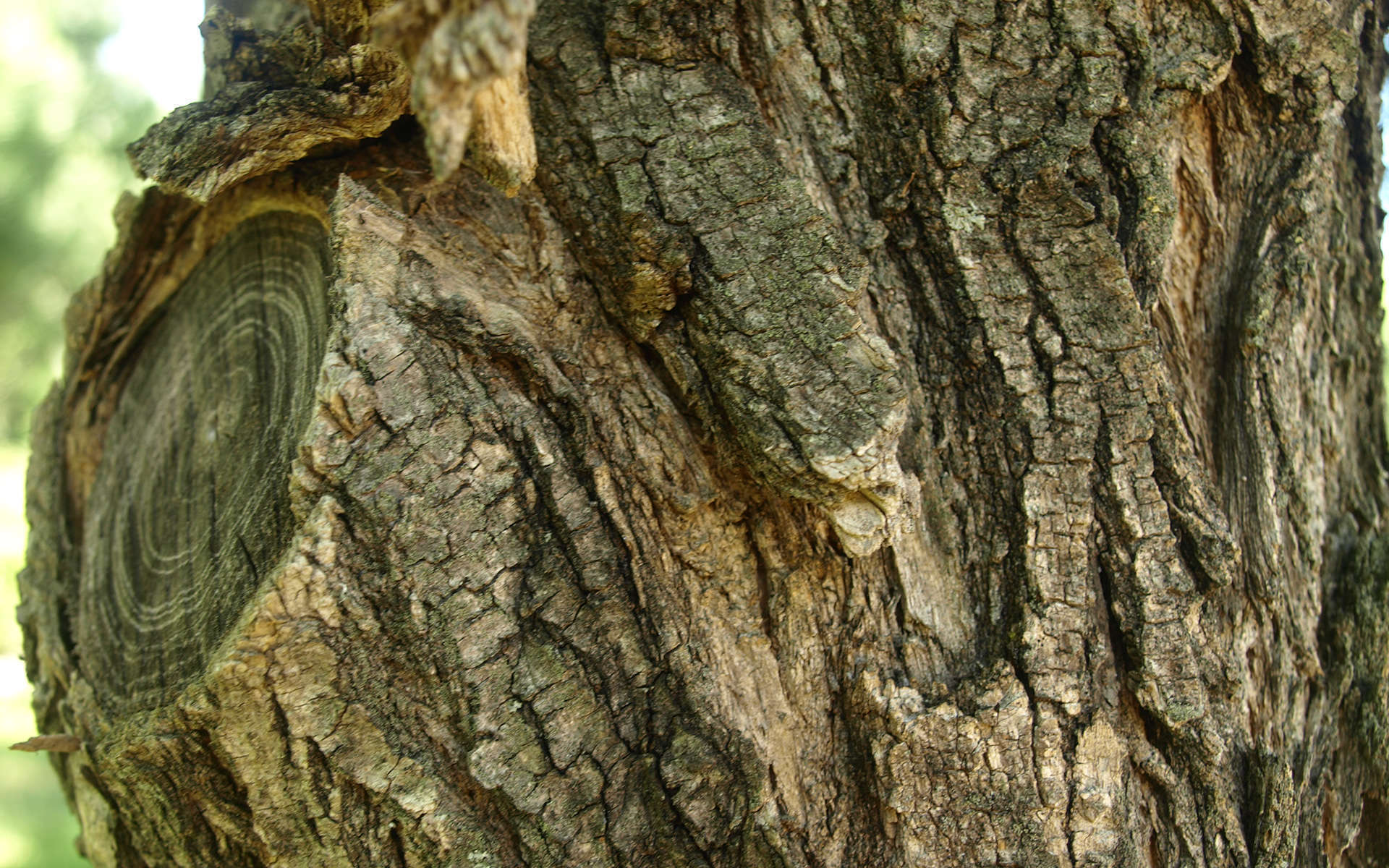 Tronc du Robinier faux-acacia (Crédits : Sabine Meneut)