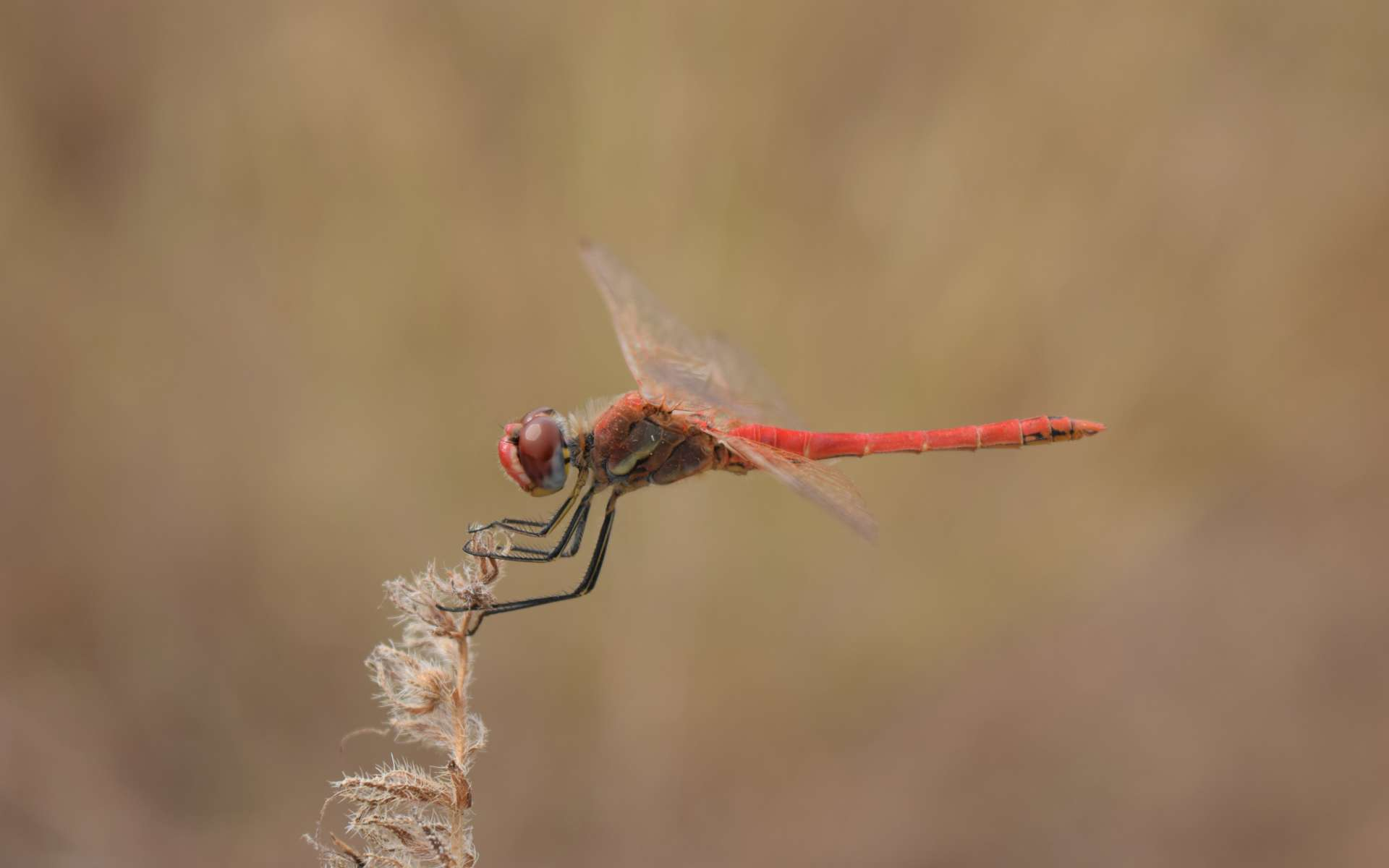 Sympetrum à nervures rouges - mâle (Crédits : Sabine Meneut)