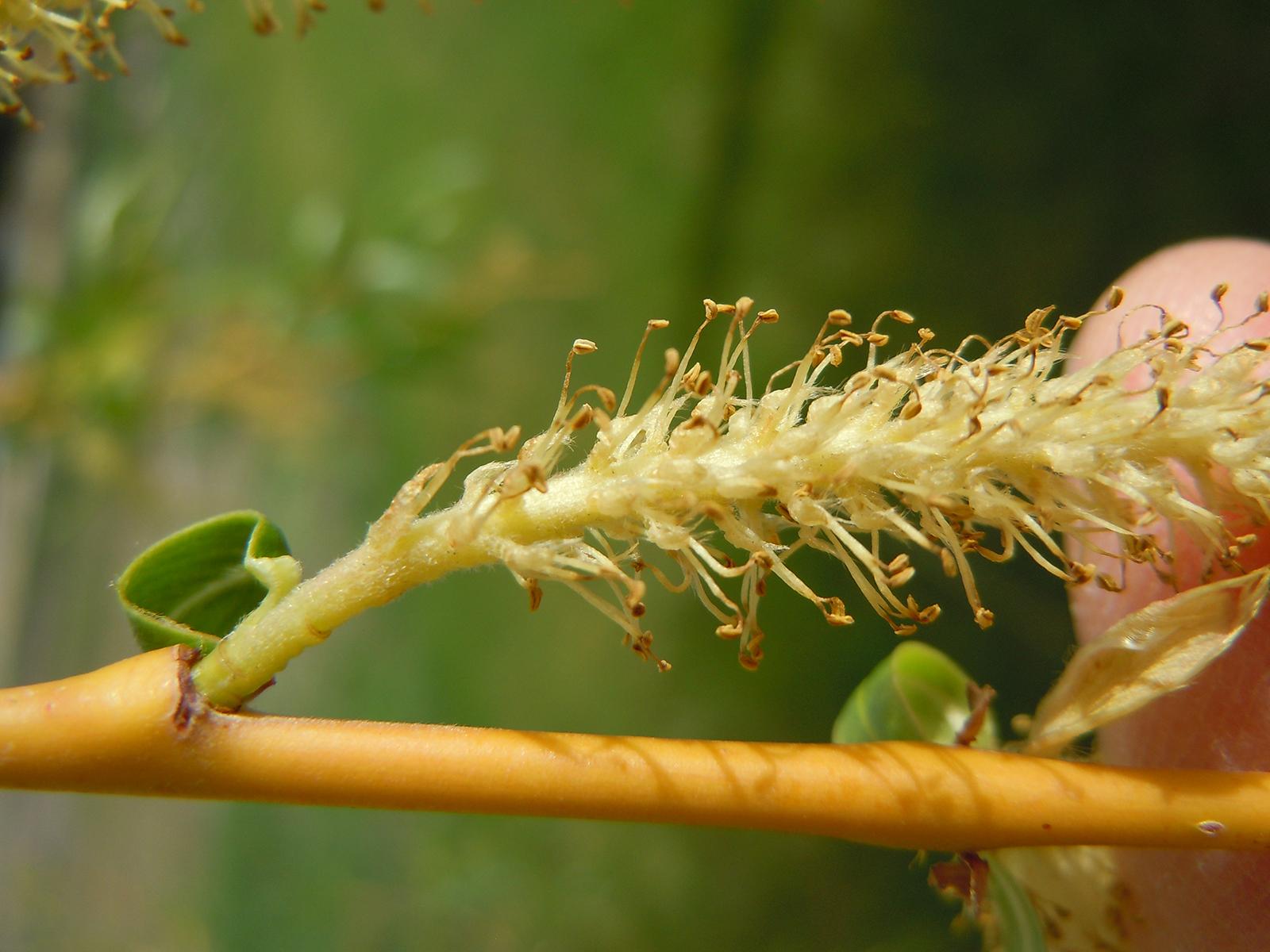 Saule fragile, fleur mâle en fin de floraison. Crédits : Matt Lavin - Flickr
