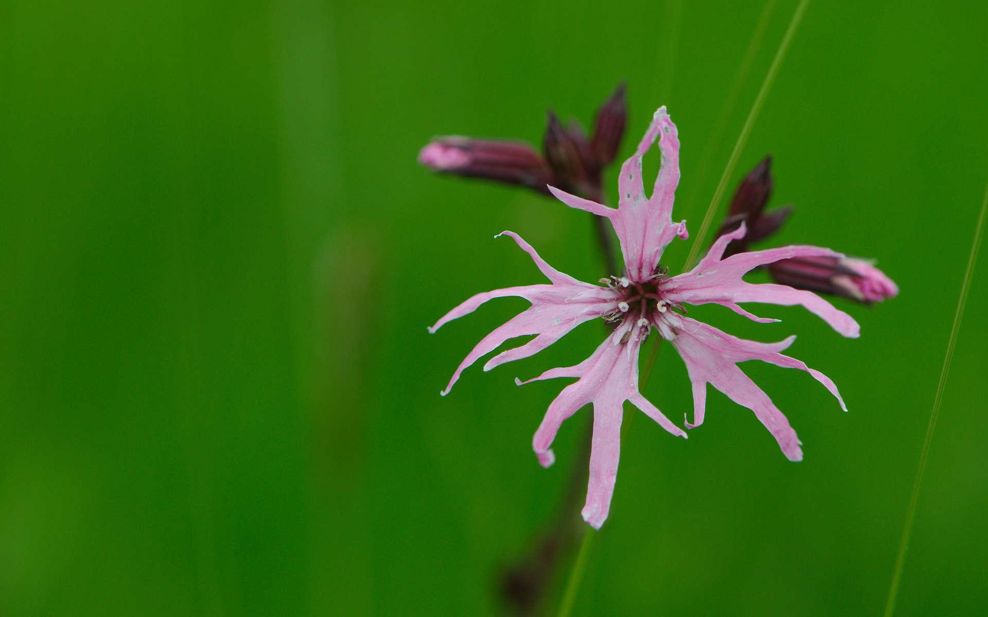 Silène fleur de coucou (Crédits: Magnus Hagdorn - Flickr)