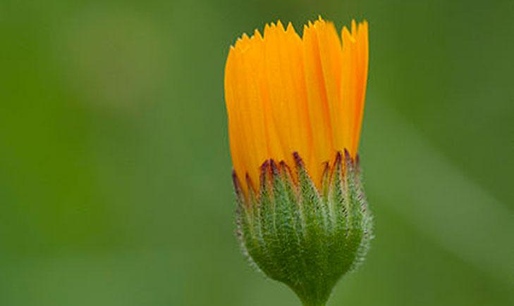 Calendula arvensis (crédit: Zeynel Cebeci)