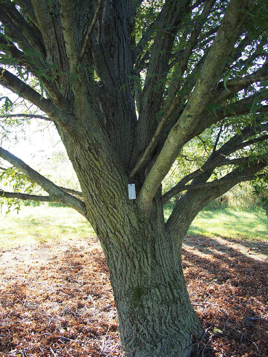 Tronc de tilleul à grandes feuilles. Crédits : F.D. Richards - Flickr