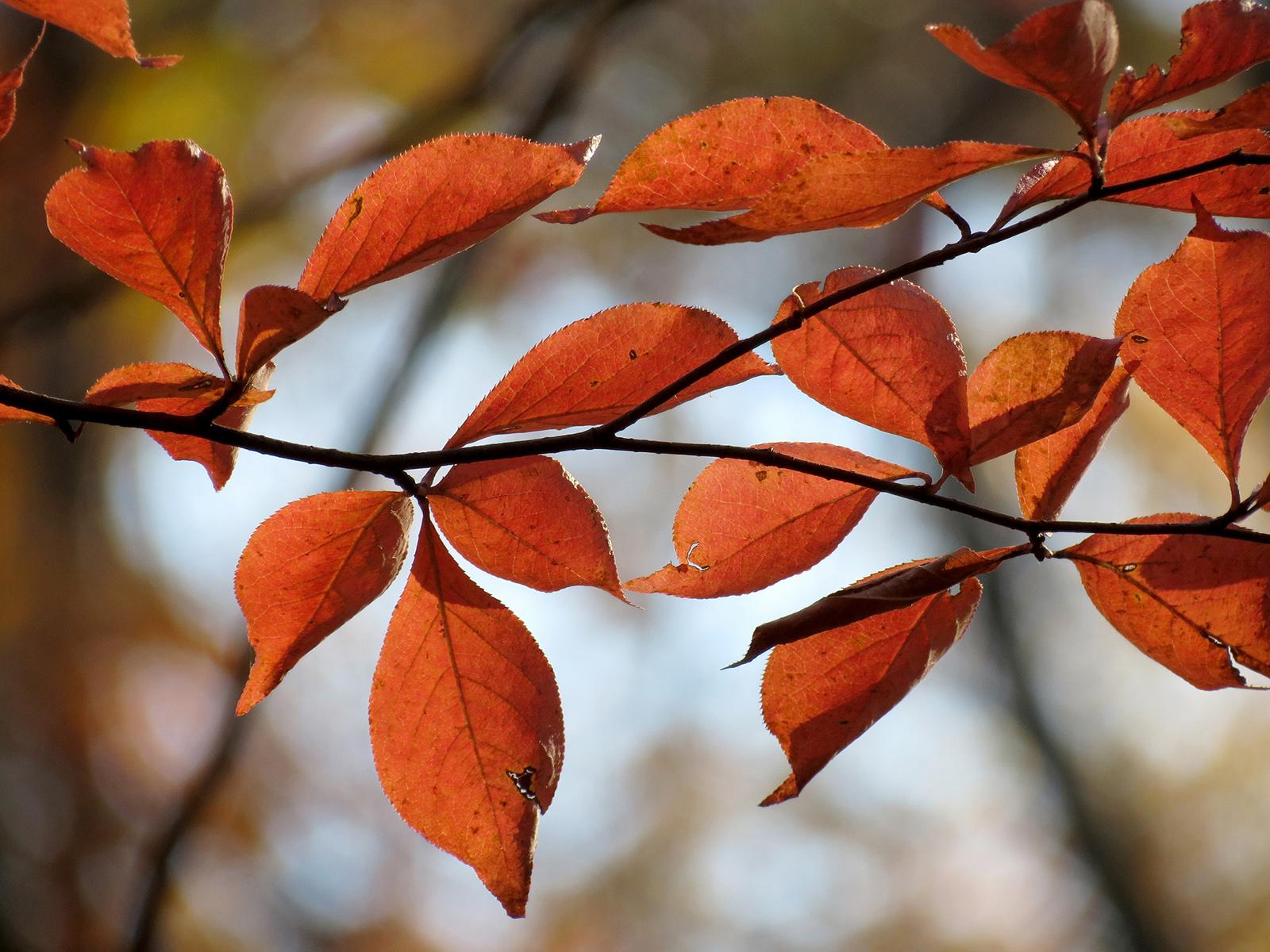 Tupelo, feuilles d'automne. Crédits : Katja Schulz - Flickr