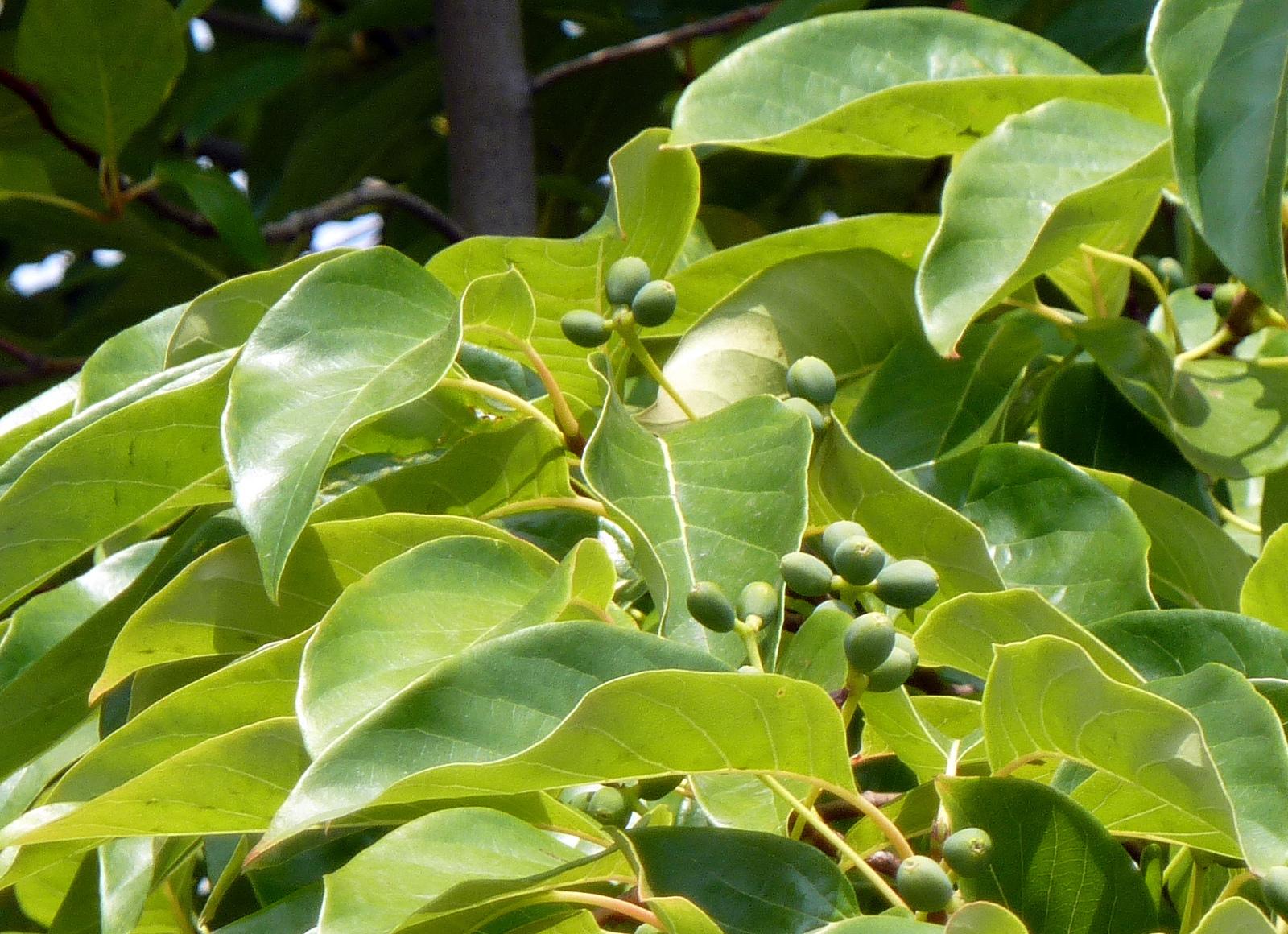 Feuilles et fruits de tupelo. Crédits : Wendy Cutler - Flickr