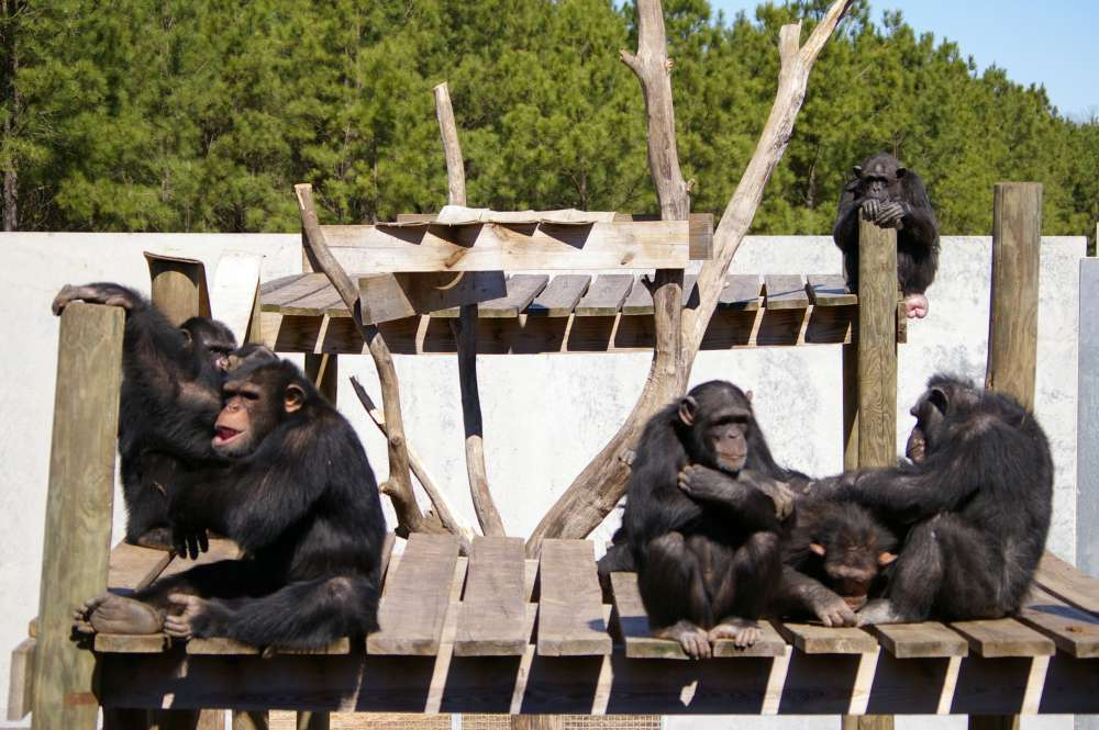 Chimpanzés à Chimp Haeven