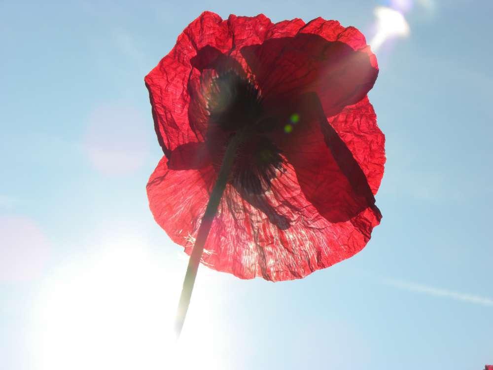 le Coquelicot Papaver rhoeas une fleur rouge