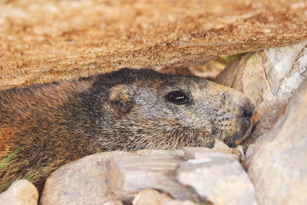 Marmotte des Alpes, mode de vie