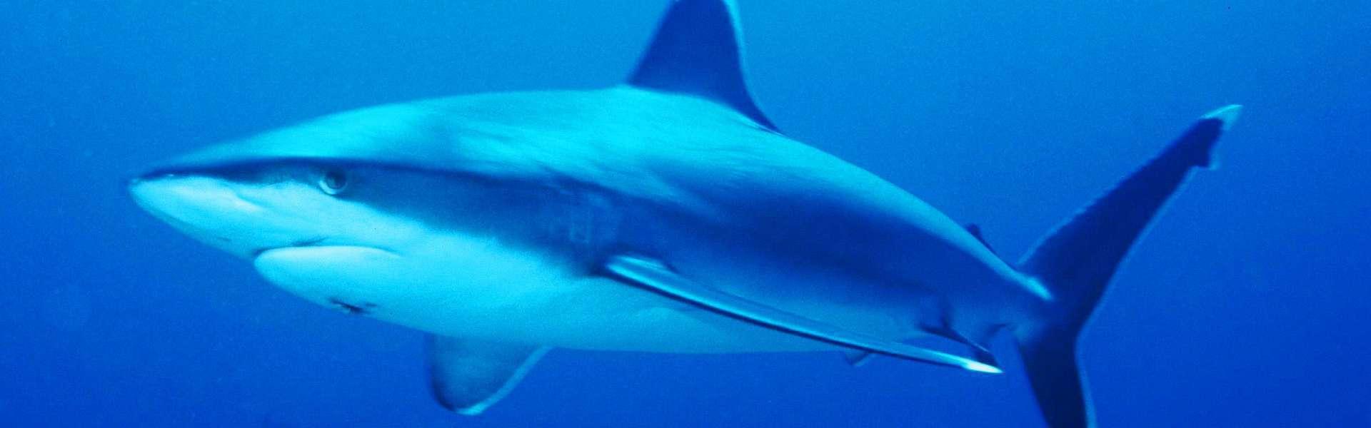 Requins en Méditerranée