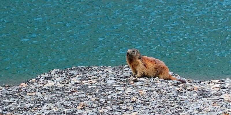 Marmotte des Alpes, Marmotta marmotta
