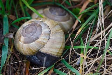 Escargot peson
