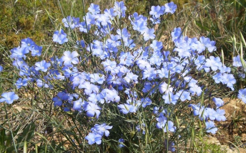 Lin vivace - lin bleu - lin perenne