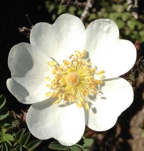 Rose pimprenelle