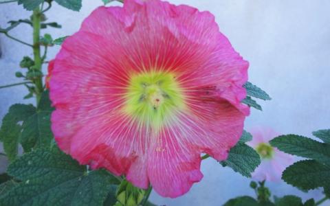 Rose trémière - Passerose - Bâton de Jacob