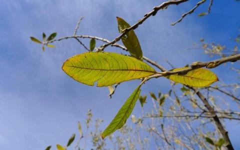 Saule roux ou saule à feuilles d'Olivier