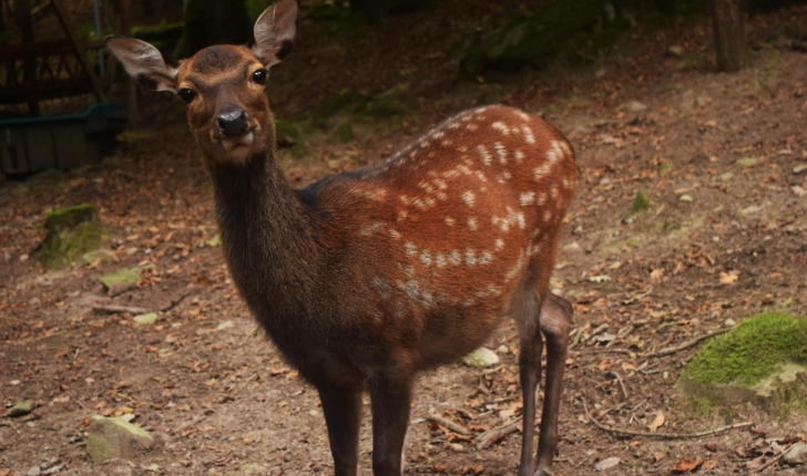 Biche Sika - Parc animalier de Fougerolles Saint-Valbert (Crédits : Sabine Meneut)