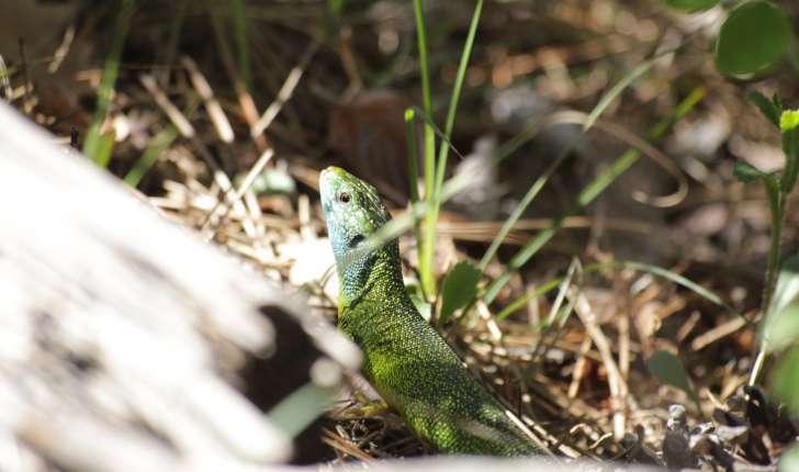 Lézard vert dans les Gorges du Riou (Crédits : Thibault Rudel)