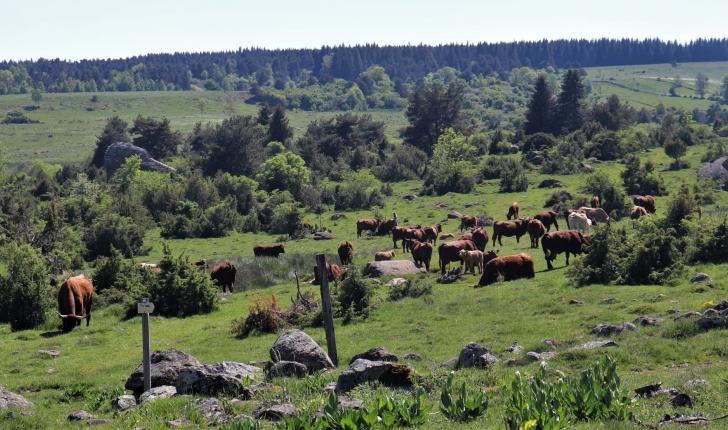 Vaches au cœur des estives du lac du Pêcher (Crédit : Laura Azzolina_NS)
