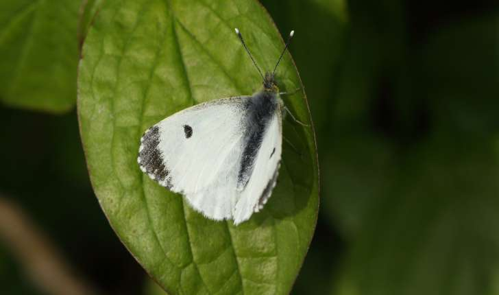 Anthocharis cardamines (Linnaeus, 1758)