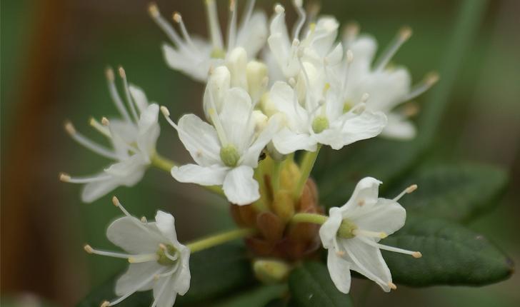 Rhododendron  labradoricum