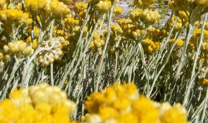 Helichrysum stoechas (Linné, 1758)
