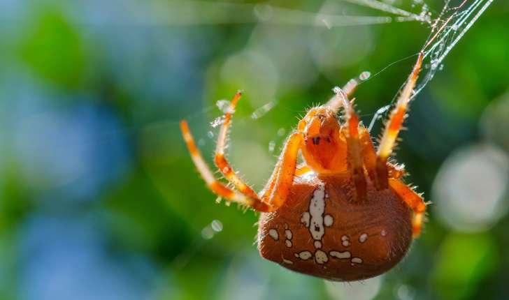 Araneus pallidus ©Adeline Brissaud